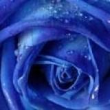 Bloomed Rose